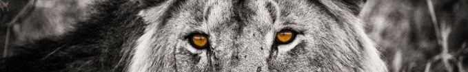 Lion-Black-and-White-Picture-Wallpapers